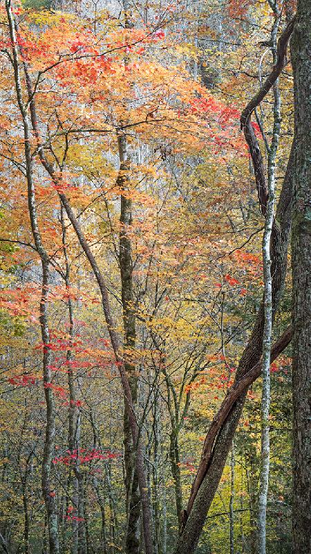 Fall Color, Great Smoky Mountains National Park by Patty Hankins