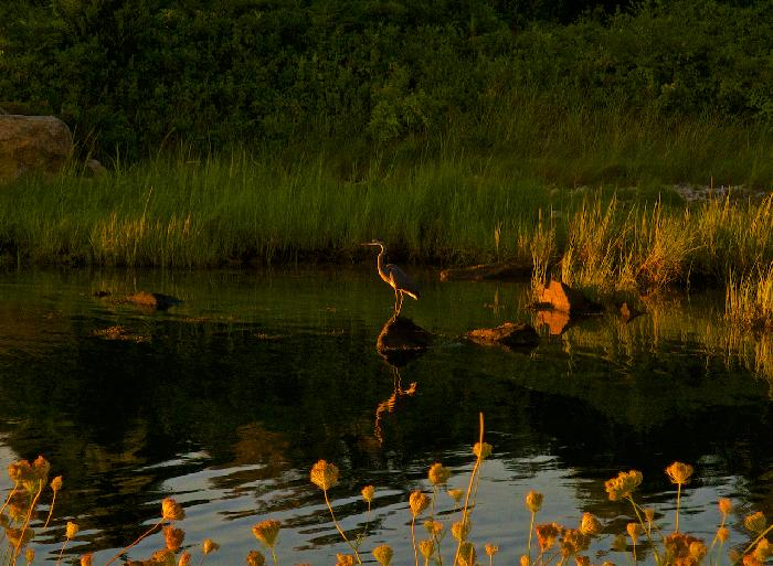 Great Blue Heron at Sunset in Nashaquitsa Pond by Julie O'Connor